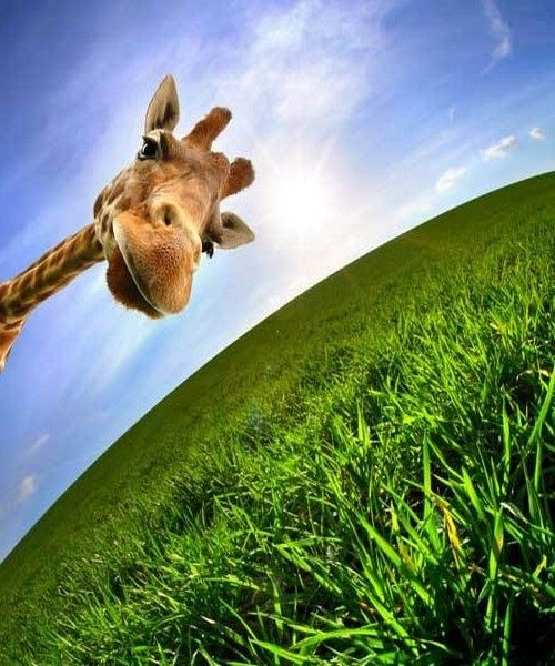 GIRAFE